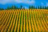Yellow Vertigo - Willamette Valley, Oregon