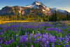 Fields Of Lupine In Jefferson Park - Jefferson Park, Oregon