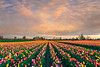Convergence Of All Kinds Of Colors - Wooden Shoe Tulip Gardens - Oregon