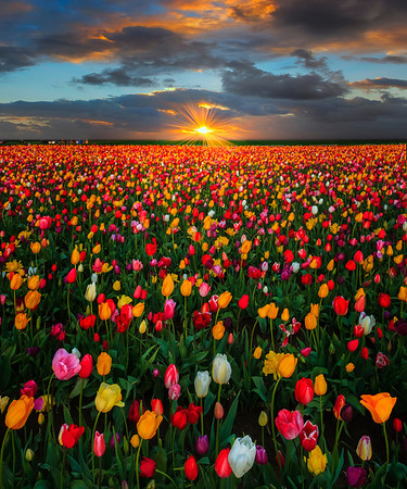 Last Moments Of Warmth - Wooden Shoe Tulip Farm, Oregon