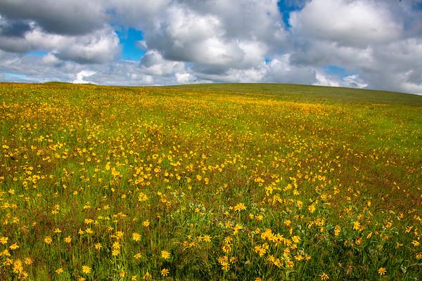 Zumwalt Prarie Preserve Wildflower Field Wallowa County, Oregon
