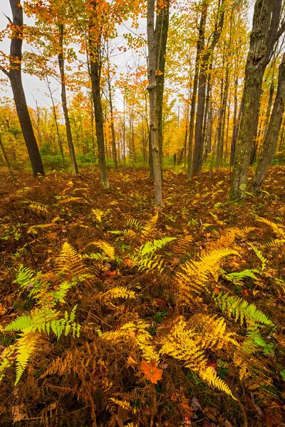 Ferns Of Autumn in Allegheny - Allegheny Mountain Range, Pennsylvania