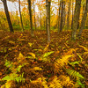 Ferns Of Autumn in Allegheny - Allegheny Mountain Range, Pennsylvania