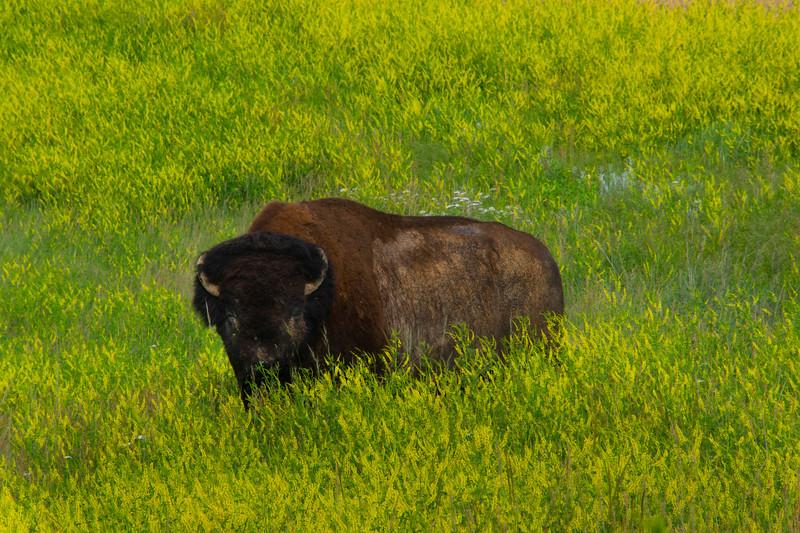 Bison In Sweet Clover - Badlands National Park, South Dakota