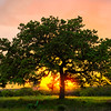 The Glow Of Sunset Around The Great Oak