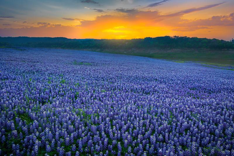 Bluebonnet Morning Sunrise Glow
