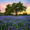 Sunset Blue Bonnet At Cypress Mill