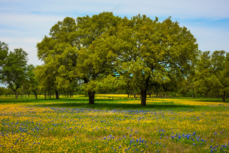 The Double Tree In Field Of Color