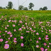 The Pink Poppy Field