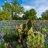 Prickly Bear Blue Bonnets_Vertical