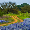 Blue Bonnets Alongside Trail