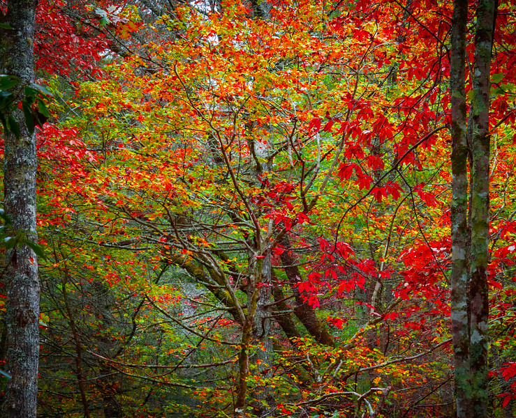 Red Maples With Vibrancy In Pisgah Forest -  Little River, Pisgah Forest, North Carolina