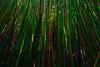 Bamboo Forest, Pipiwai Trail -  Haleakala National Park, Maui, Hawaii