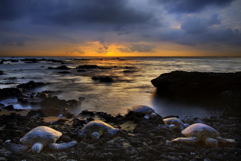 A Hawaiian Tradition For Turtles - A' Bay Pond, Kona, The Big Island, Hawaii