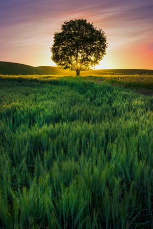 The Solo Tree And Sunburst Pink -The Palouse, Eastern Washington And Western Idaho