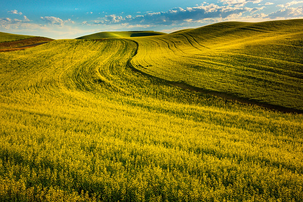 Rolling Fields Of Canola Into The Sunlight Barbee Road, Off Hgy 195, Pullman, Palouse, WA