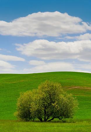 The Symbol Of Spring - The Palouse, Eastern Washington