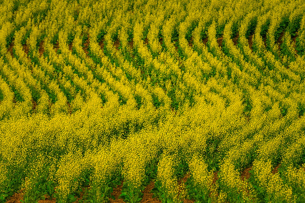 Abstract S-Curve Patterns In The Canola - Weber House, Staley, Palouse, WA