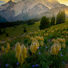 Rows Of Pasque Flower Seeds Overlooking Rainier - Yakima Park, Mt Rainier NP, WA