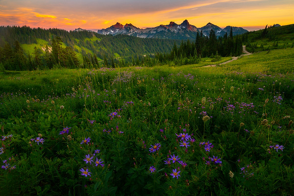 Aster Meadow Looking Out At Tatoosh - Paradise Meadows, Mt Rainier NP, WA