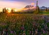 Golden Sunset From Paradise Meadow -  Mazama Ridge, Mount Rainier National Park, Washington St.