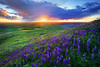 Wildflower Backlit - Steptoe Butte, The Palouse, Washington