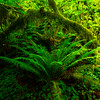 Glowing Sidelight On Sword Fern - Hoh Rain Forest, Olympic National Park, WA