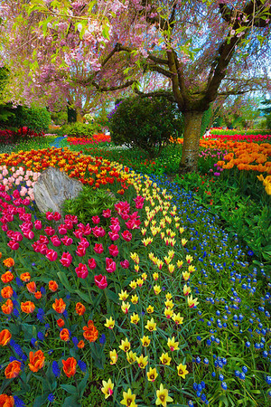 Variety Rows Of Color - Skagit Valley Tulip Fields, Mt. Vernon, Washington
