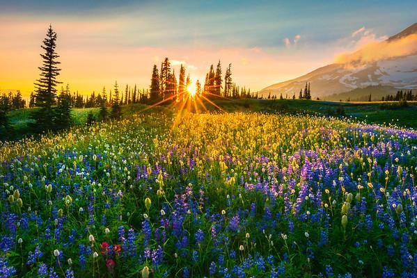Wildflower Dreams Of Color -  Mazama Ridge, Mount Rainier National Park, Washington St.
