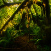 Morning Light Showcasing The Forest Floor - Hoh Rainforest, Olympic National Park, WA