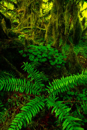 Starfish Forest - Hoh Rain Forest, Olympic National Park, WA