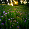 Purple Aster Sunburst - Dead Horse Creek Trail, Mt Rainier NP, WA