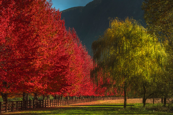 Late Afternoon Hitting The Autumn Rows Of Color - Rockport Farm, Snoqualmie Pass, WA