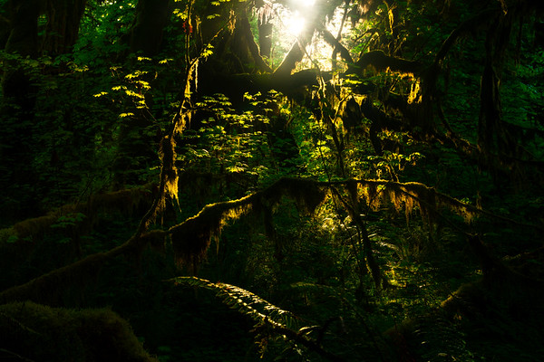 Glowing Light Illuminating The Forest Trees - Hoh Rainforest, Olympic National Park, WA