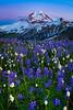 Twilight Wildflower Blues - Skyline Divide, Mount Baker Area, Washington