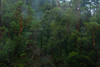 Mist Working Through The Redwoods Forest
