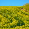 Patterns In The Canola -The Palouse, Eastern Washington And Western Idaho
