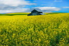 All By Its Lonesome Self In Canola - The Palouse, Eastern Washington
