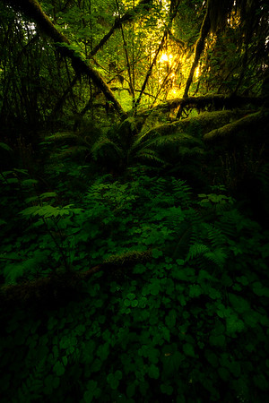 Mystery Of Early Morning Light In The Hoh - Hoh Rainforest, Olympic National Park, WA
