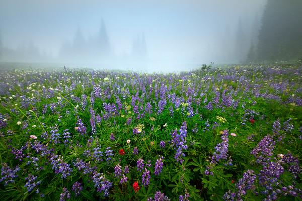 Lupine Surrounds Tarn In Mist - Mount Rainier National Park, WA