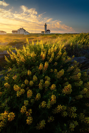 The Warm Glow Spreading Over The Lupine - Point Wilson Lighthouse, Fort Worden State Park, Port Townsend, WA
