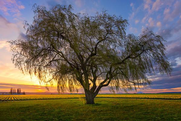 The Whispers Of A Tree - Skagit Valley Tulip Fields, Mt. Vernon, Washington