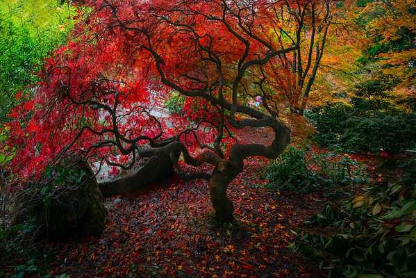 Fall Colors In The Washington Arboretum, Seattle, WA Autumn Close To Home - Yashiro Japanese Garden, Olympia, Washington St.
