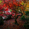 Fall Colors In The Washington Arboretum, Seattle, WA Autumn Close To Home - Yashiro Japanese Garden, Olympia, Washington St.