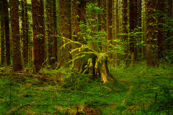 Unusual Shapes In The Black Forest - Black Forest, Olympic National Park, WA