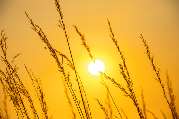 Sun Ball Shining Through Wheat - Palouse, Eastern Washington