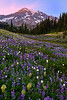 Slope side Lupine - Van Trump Park, Mount Rainier National Park, Washington St