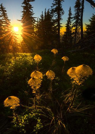 Beargrass Showcased In The Meadow -Tolmie Peak, Mount Rainier National Park, WA