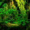 Panoramic View Of Light In The Hoh - Hoh Rainforest, Olympic National Park, WA
