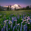 A Mix Of Lupine and Aster From Sunrise_ - Mount Rainier National Park, WA